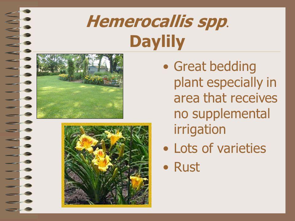 Hemerocallis spp.