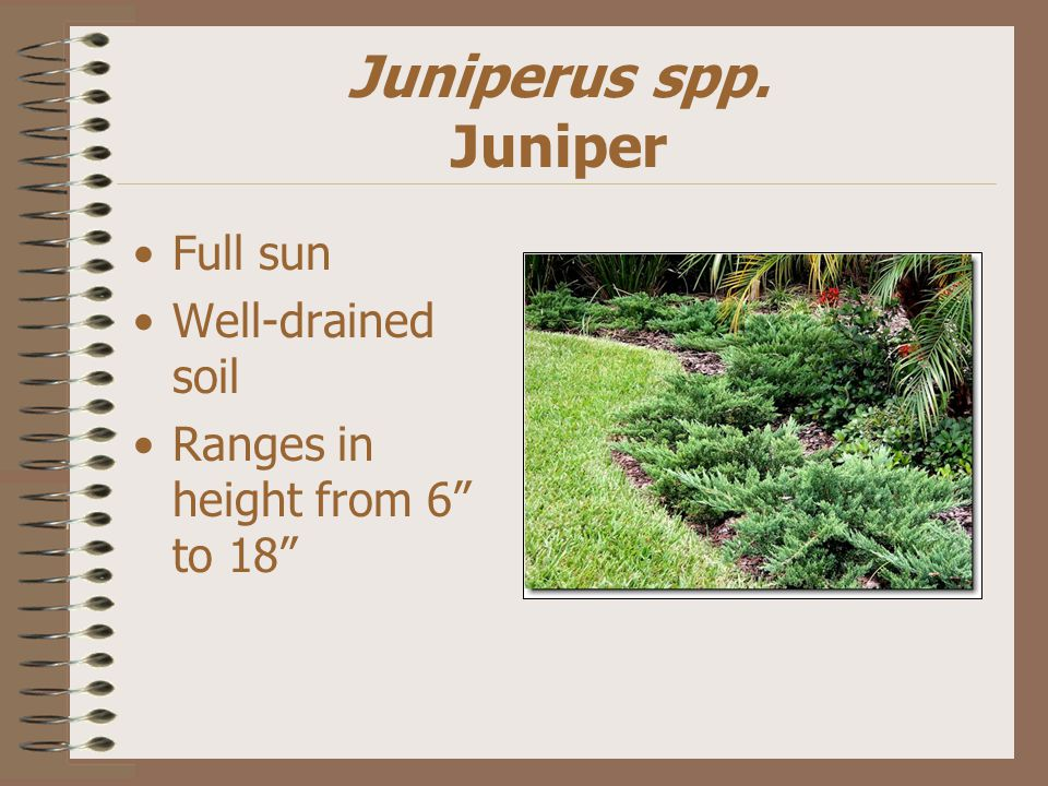 Juniperus spp. Juniper Full sun Well-drained soil Ranges in height from 6 to 18