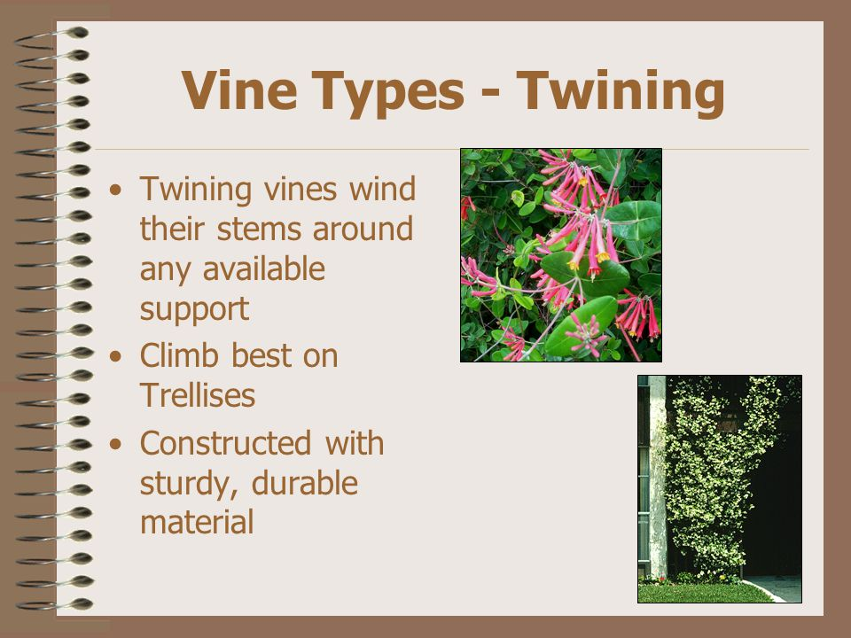 Vine Types - Twining Twining vines wind their stems around any available support Climb best on Trellises Constructed with sturdy, durable material