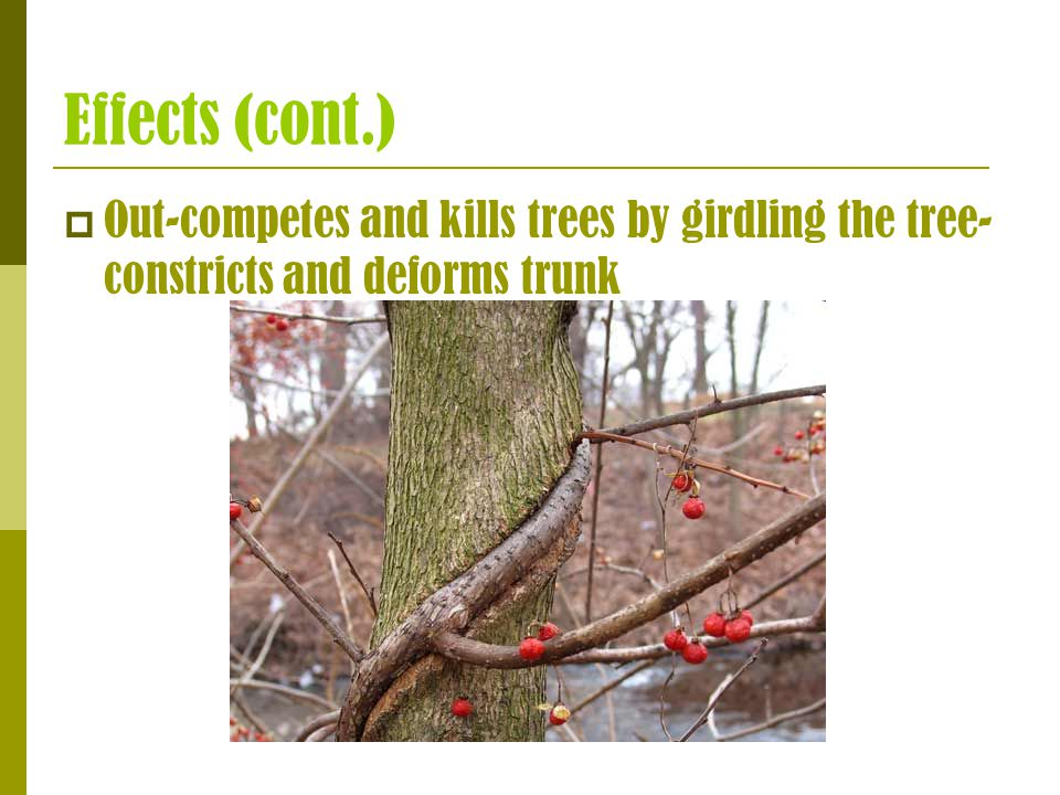 Effects (cont.)  Out-competes and kills trees by girdling the tree- constricts and deforms trunk