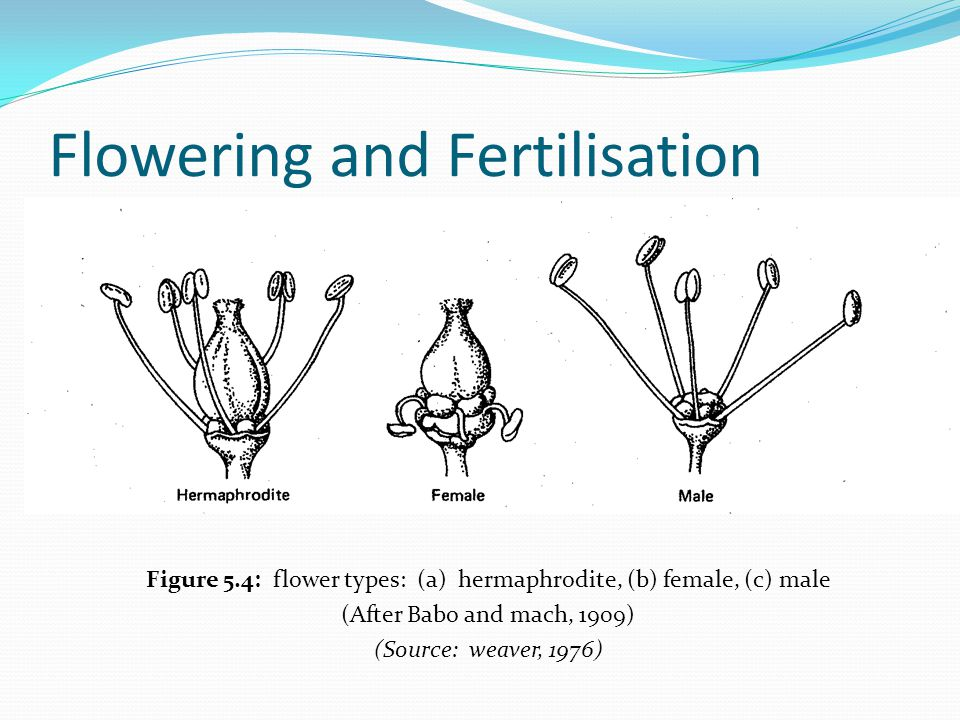 Flowering and Fertilisation Figure 5.4: flower types: (a) hermaphrodite, (b) female, (c) male (After Babo and mach, 1909) (Source: weaver, 1976)