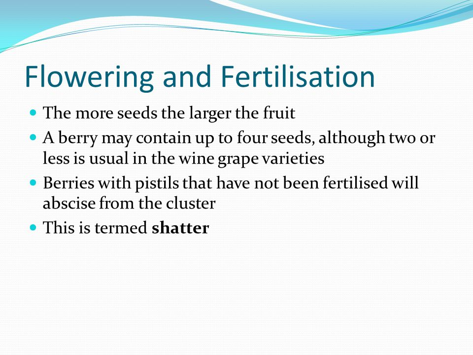 Flowering and Fertilisation The more seeds the larger the fruit A berry may contain up to four seeds, although two or less is usual in the wine grape