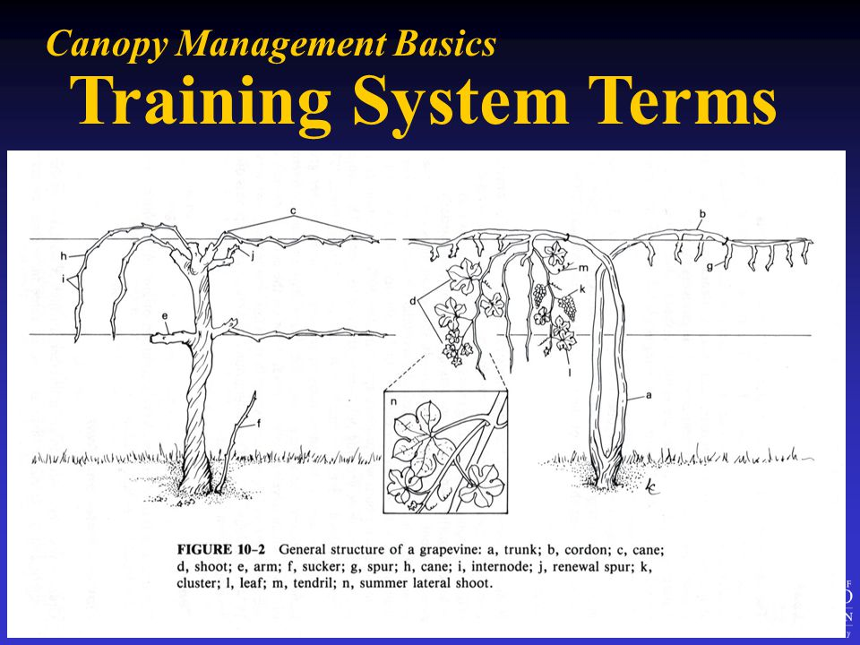 Training System Terms Canopy Management Basics