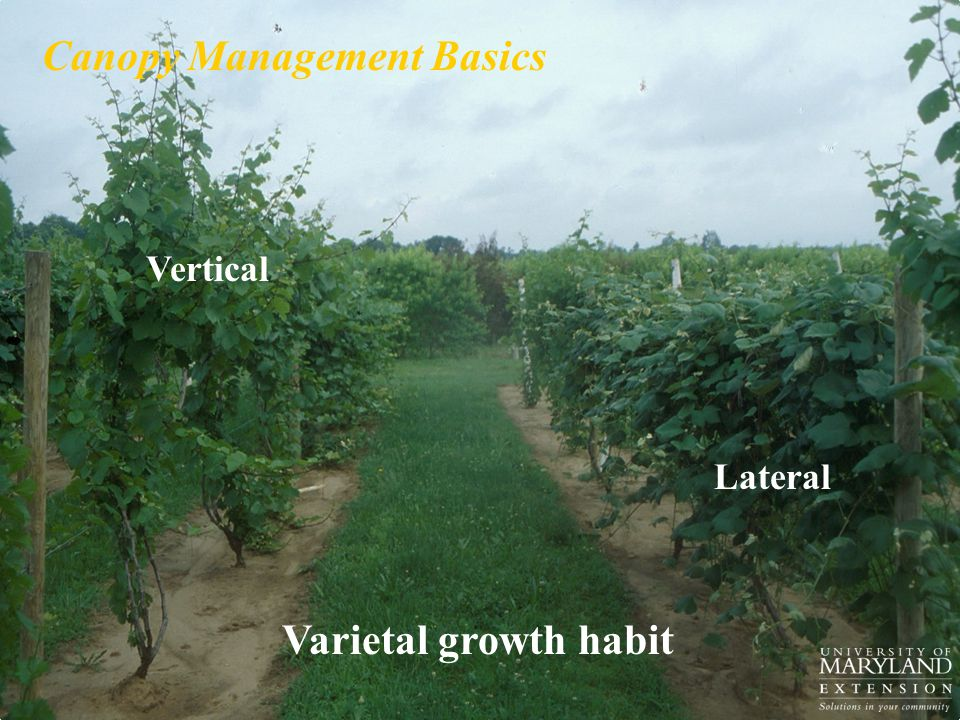 Varietal growth habit Vertical Lateral