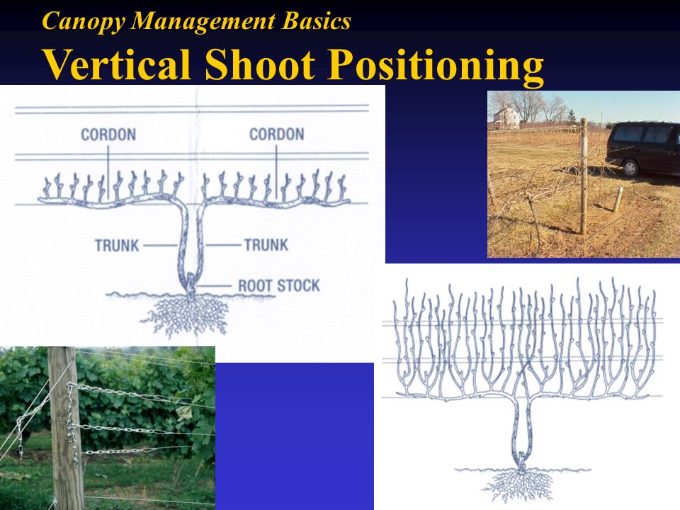 Vertical Shoot Positioning