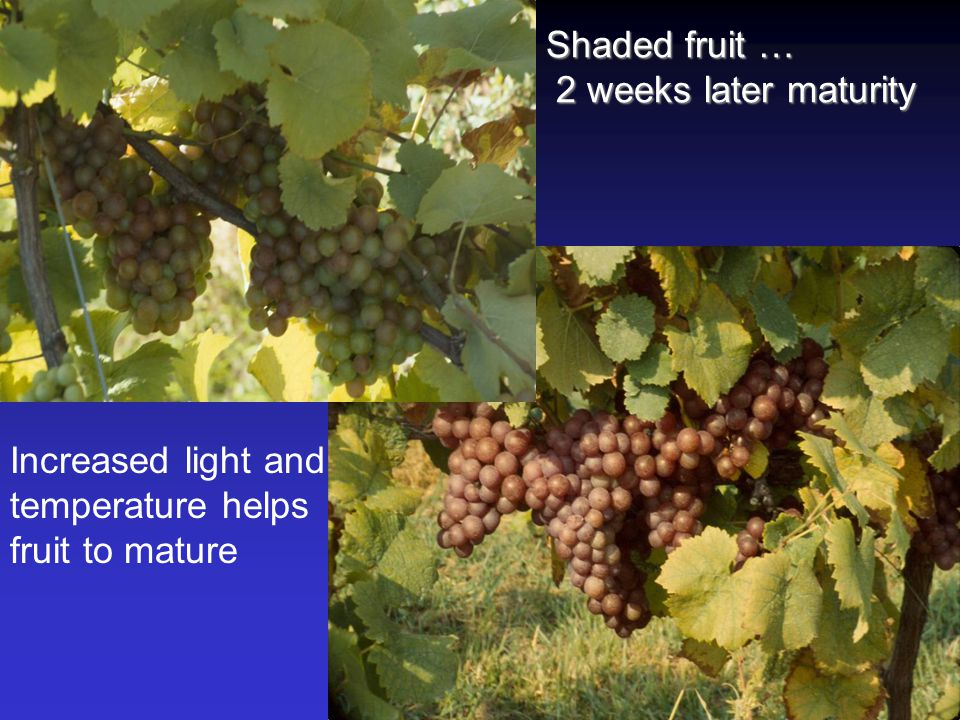 Shaded fruit … 2 weeks later maturity 2 weeks later maturity Increased light and temperature helps fruit to mature