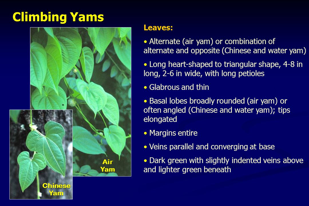 Climbing Yams ChineseYam AirYam Leaves: Alternate (air yam) or combination of alternate and opposite (Chinese and water yam) Long heart-shaped to tria