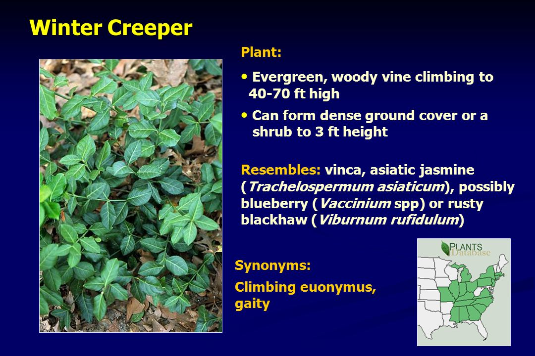 Winter Creeper Winter Creeper Plant: Evergreen, woody vine climbing to 40-70 ft high Can form dense ground cover or a shrub to 3 ft height Resembles: vinca, asiatic jasmine (Trachelospermum asiaticum), possibly blueberry (Vaccinium spp) or rusty blackhaw (Viburnum rufidulum) Synonyms: Climbing euonymus, gaity