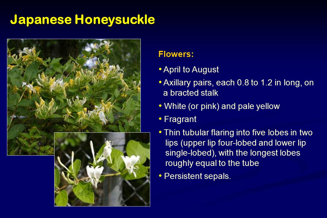 Japanese Honeysuckle Flowers: April to August Axillary pairs, each 0.8 to 1.2 in long, on a bracted stalk White (or pink) and pale yellow Fragrant Thin tubular flaring into five lobes in two lips (upper lip four-lobed and lower lip single-lobed), with the longest lobes roughly equal to the tube Persistent sepals.