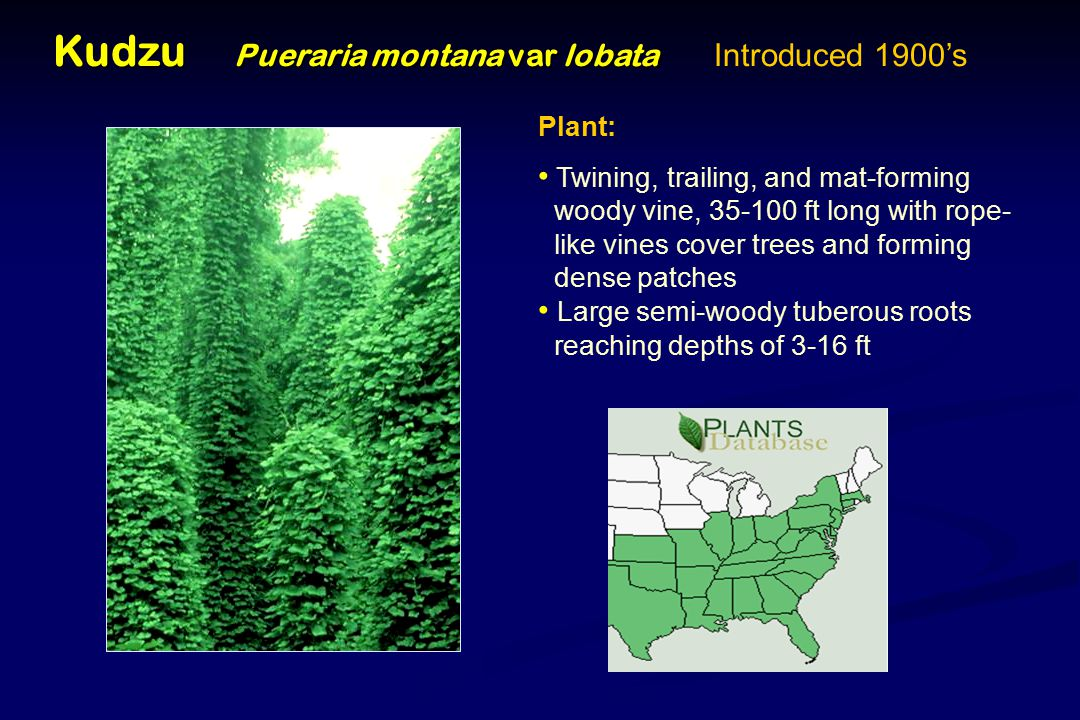 Kudzu Pueraria montana var lobata Kudzu Pueraria montana var lobata Introduced 1900's Plant: Twining, trailing, and mat-forming woody vine, 35-100 ft long with rope- like vines cover trees and forming dense patches Large semi-woody tuberous roots reaching depths of 3-16 ft