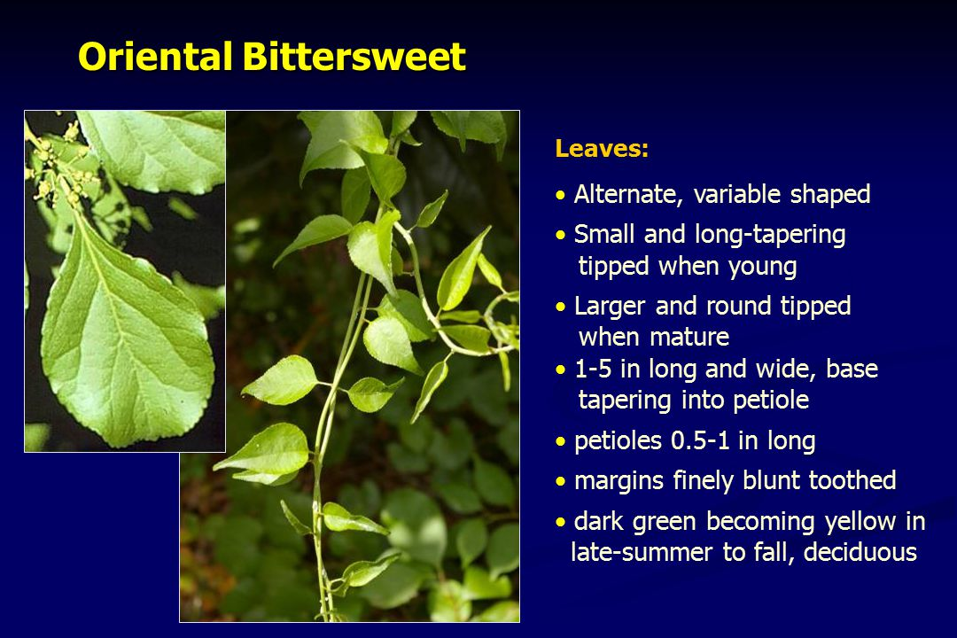 Oriental Bittersweet Oriental Bittersweet Leaves: Alternate, variable shaped Small and long-tapering tipped when young Larger and round tipped when ma