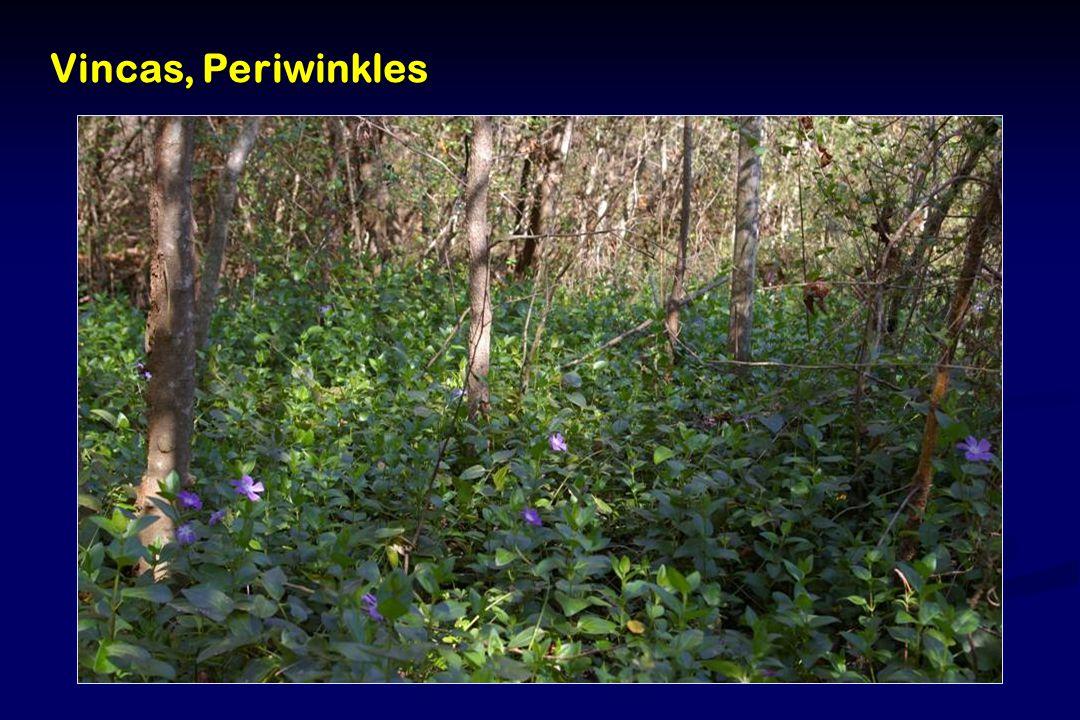 Vincas, Periwinkles