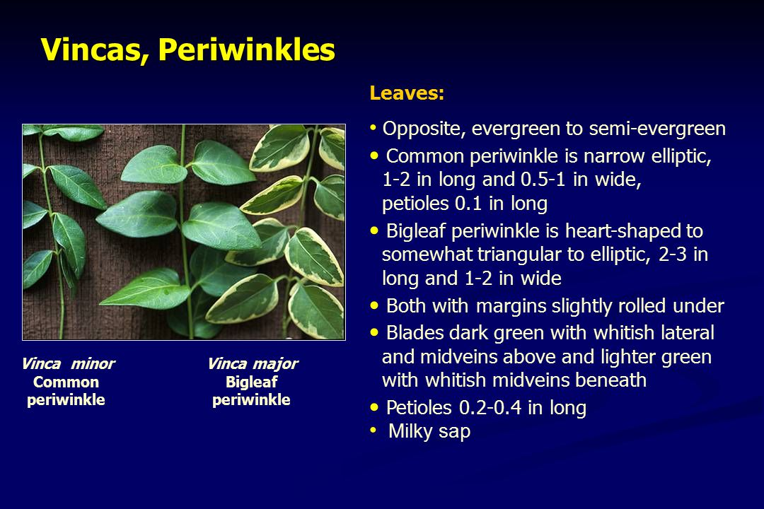 Vincas, Periwinkles Leaves: Opposite, evergreen to semi-evergreen Common periwinkle is narrow elliptic, 1-2 in long and 0.5-1 in wide, petioles 0.1 in