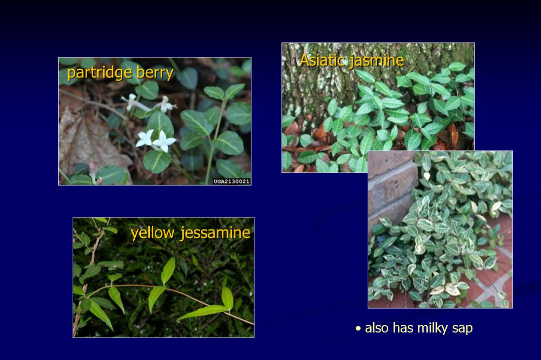 Asiatic jasmine partridge berry also has milky sap yellow jessamine