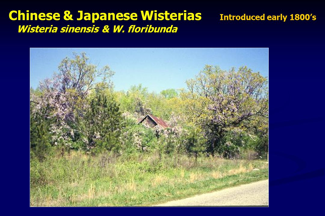 Chinese & Japanese Wisterias Introduced early 1800's Chinese & Japanese Wisterias Introduced early 1800's Wisteria sinensis & W.