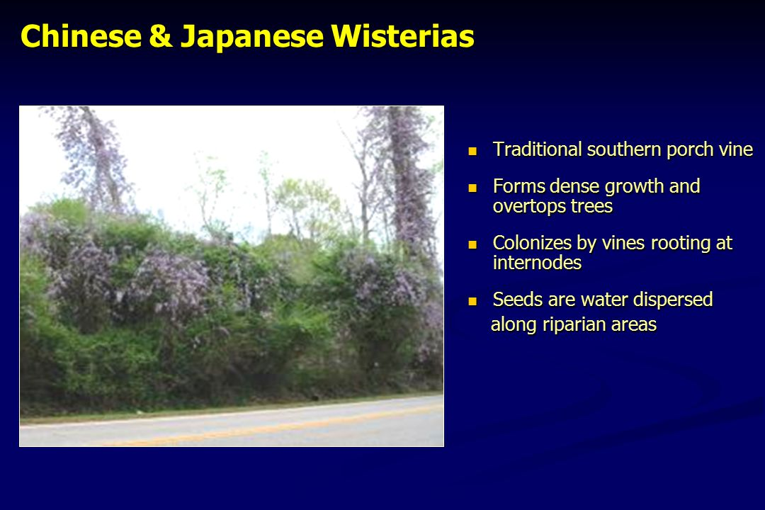 Chinese & Japanese Wisterias Chinese & Japanese Wisterias Traditional southern porch vine Forms dense growth and overtops trees Colonizes by vines roo