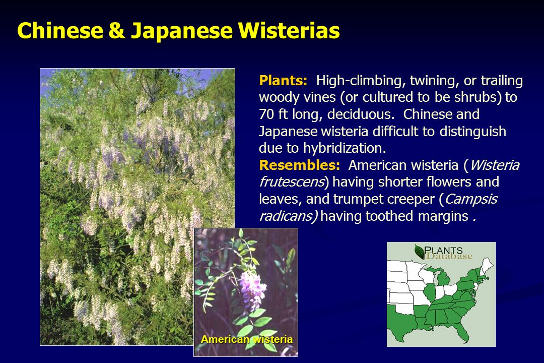 Chinese & Japanese Wisterias Chinese & Japanese Wisterias Plants: High-climbing, twining, or trailing woody vines (or cultured to be shrubs) to 70 ft long, deciduous.