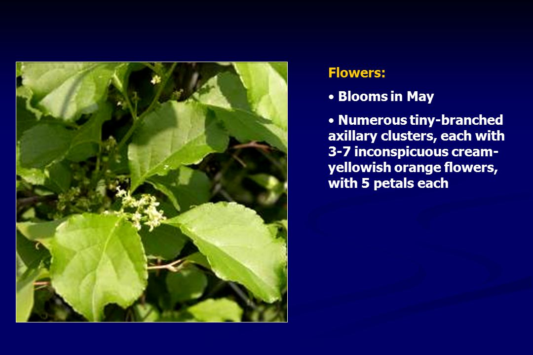 Flowers: Blooms in May Numerous tiny-branched axillary clusters, each with 3-7 inconspicuous cream- yellowish orange flowers, with 5 petals each