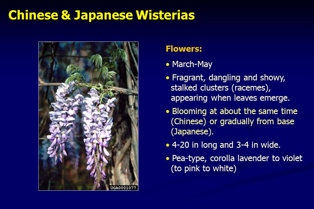 Chinese & Japanese Wisterias Chinese & Japanese Wisterias Flowers: March-May Fragrant, dangling and showy, stalked clusters (racemes), appearing when leaves emerge.