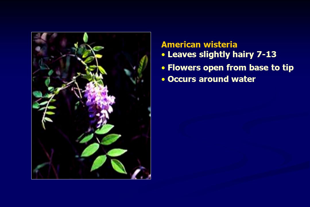 American wisteria Leaves slightly hairy 7-13 Flowers open from base to tip Occurs around water