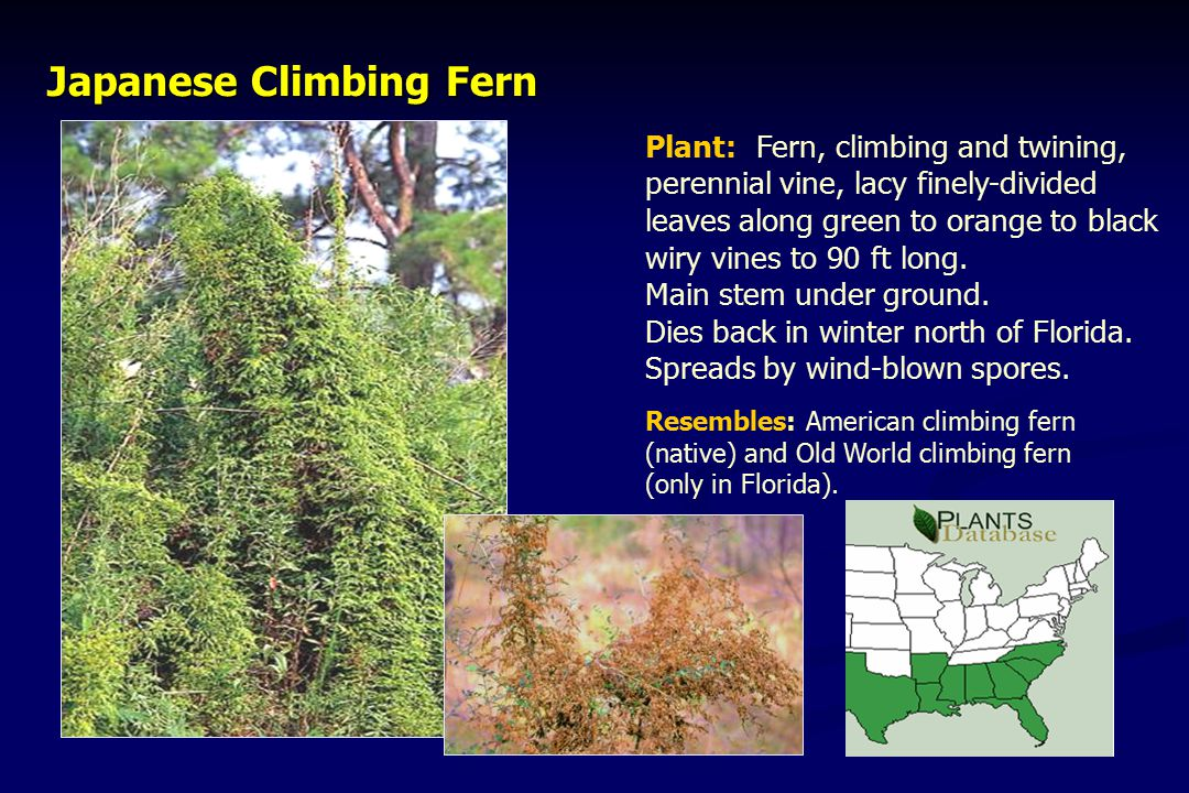 Japanese Climbing Fern Japanese Climbing Fern Plant: Fern, climbing and twining, perennial vine, lacy finely-divided leaves along green to orange to black wiry vines to 90 ft long.