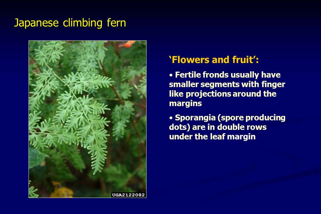 Japanese climbing fern 'Flowers and fruit': Fertile fronds usually have smaller segments with finger like projections around the margins Sporangia (spore producing dots) are in double rows under the leaf margin