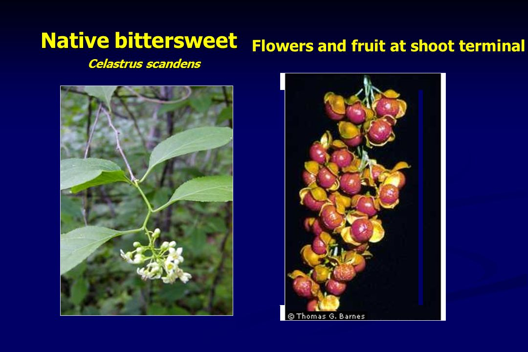 Native bittersweet Celastrus scandens Flowers and fruit at shoot terminal