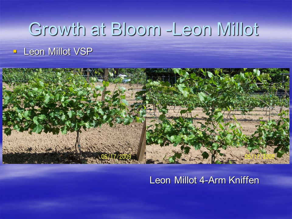 Growth at Bloom -Leon Millot  Leon Millot VSP Leon Millot 4-Arm Kniffen Leon Millot 4-Arm Kniffen