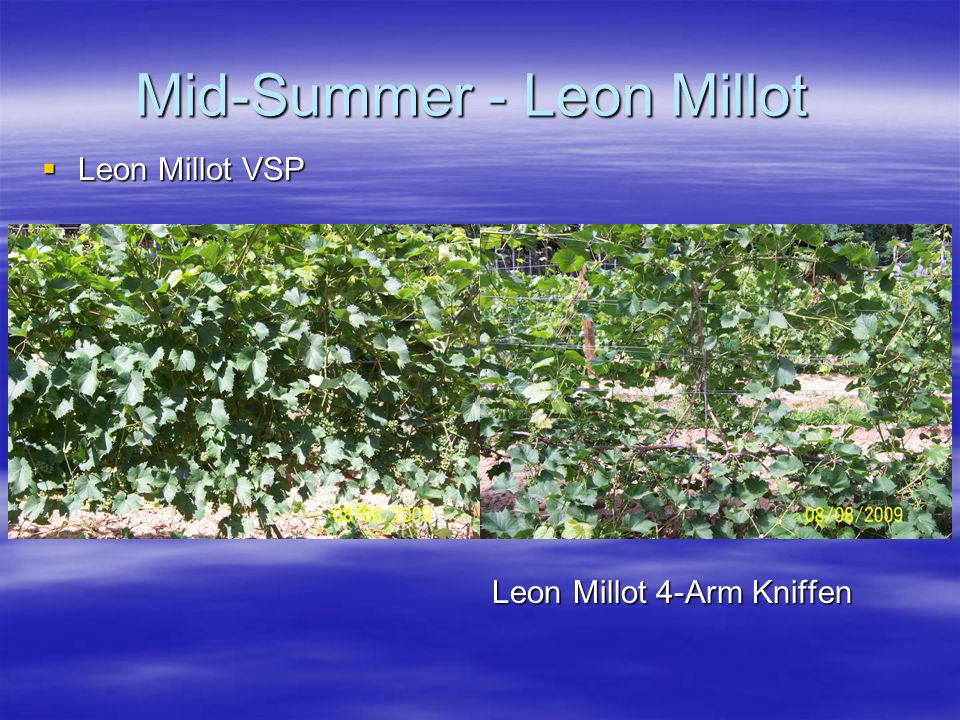 Mid-Summer - Leon Millot  Leon Millot VSP Leon Millot 4-Arm Kniffen Leon Millot 4-Arm Kniffen