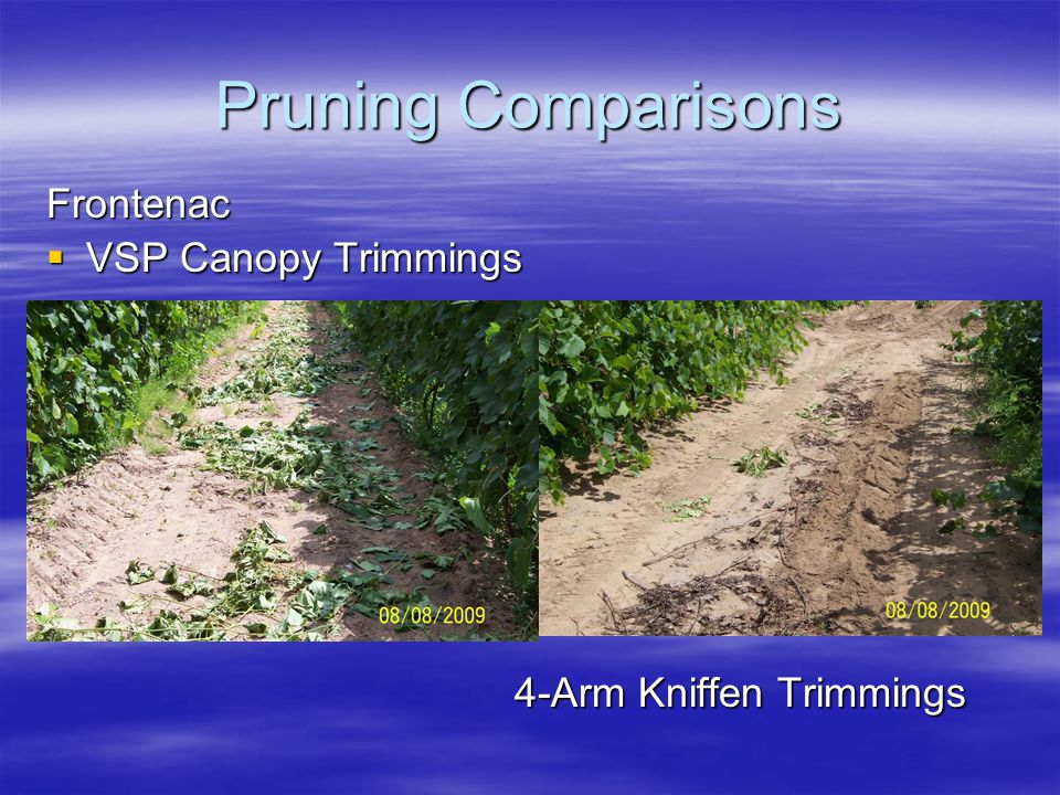 Pruning Comparisons Frontenac  VSP Canopy Trimmings 4-Arm Kniffen Trimmings 4-Arm Kniffen Trimmings