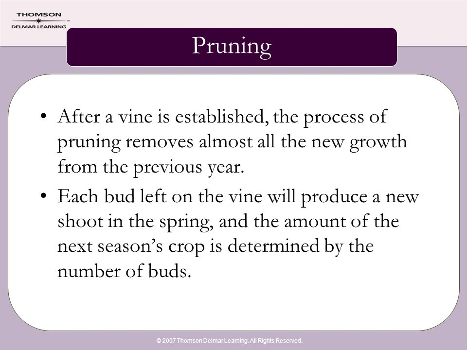 © 2007 Thomson Delmar Learning. All Rights Reserved. Pruning After a vine is established, the process of pruning removes almost all the new growth fro