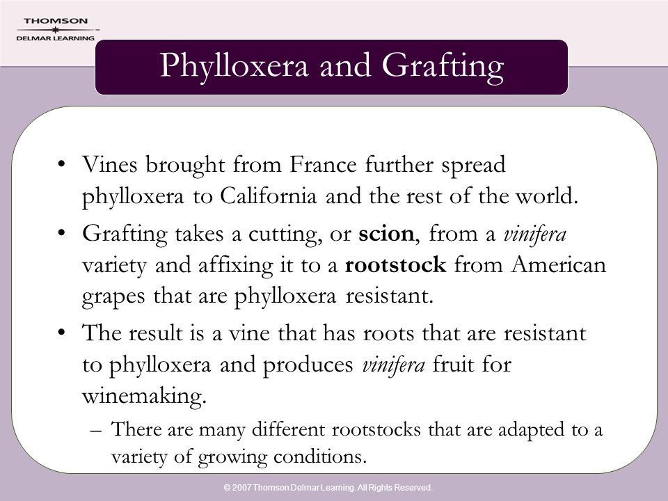 © 2007 Thomson Delmar Learning. All Rights Reserved. Phylloxera and Grafting Vines brought from France further spread phylloxera to California and the