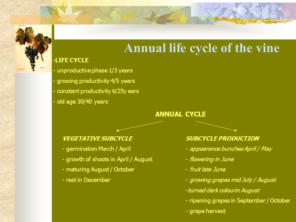 Annual life cycle of the vine -LIFE CYCLE - unproductive phase 1/3 years - growing productivity 4/5 years - constant productivity 6/25y ears - old age