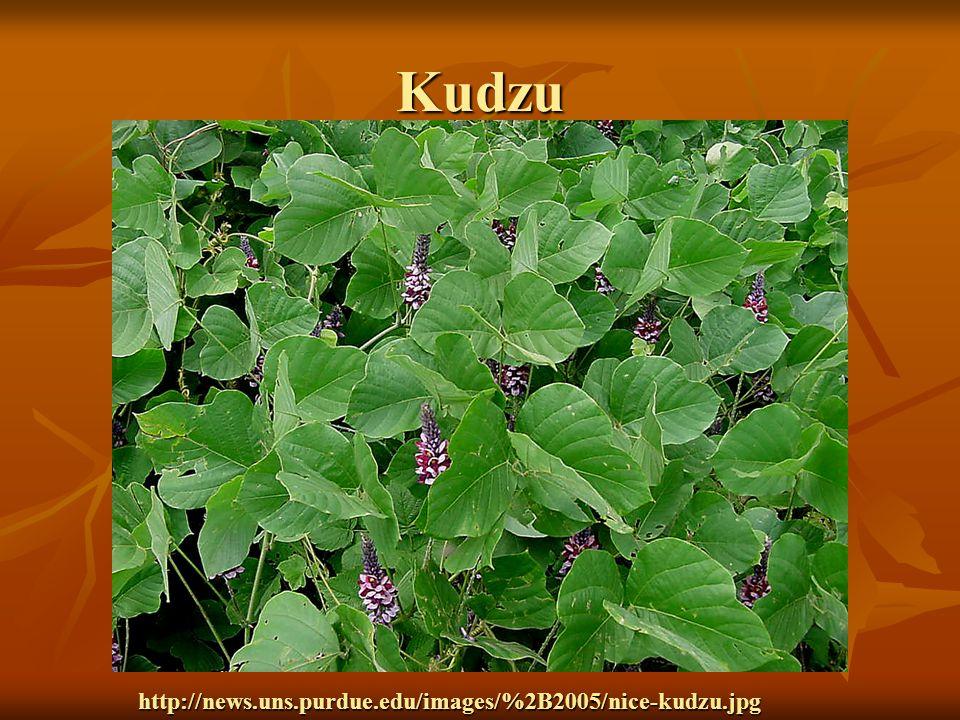 Kudzu http://news.uns.purdue.edu/images/%2B2005/nice-kudzu.jpg
