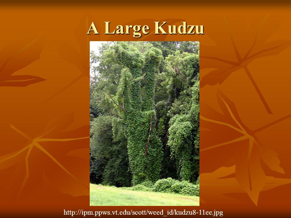 A Large Kudzu http://ipm.ppws.vt.edu/scott/weed_id/kudzu8-11ee.jpg