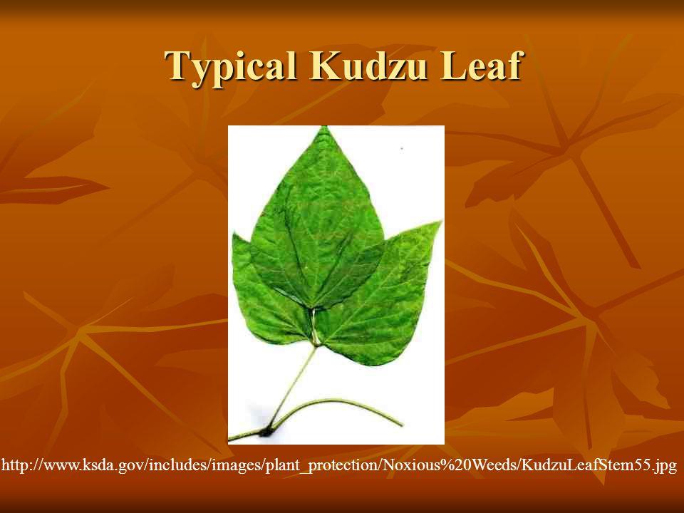 Typical Kudzu Leaf http://www.ksda.gov/includes/images/plant_protection/Noxious%20Weeds/KudzuLeafStem55.jpg