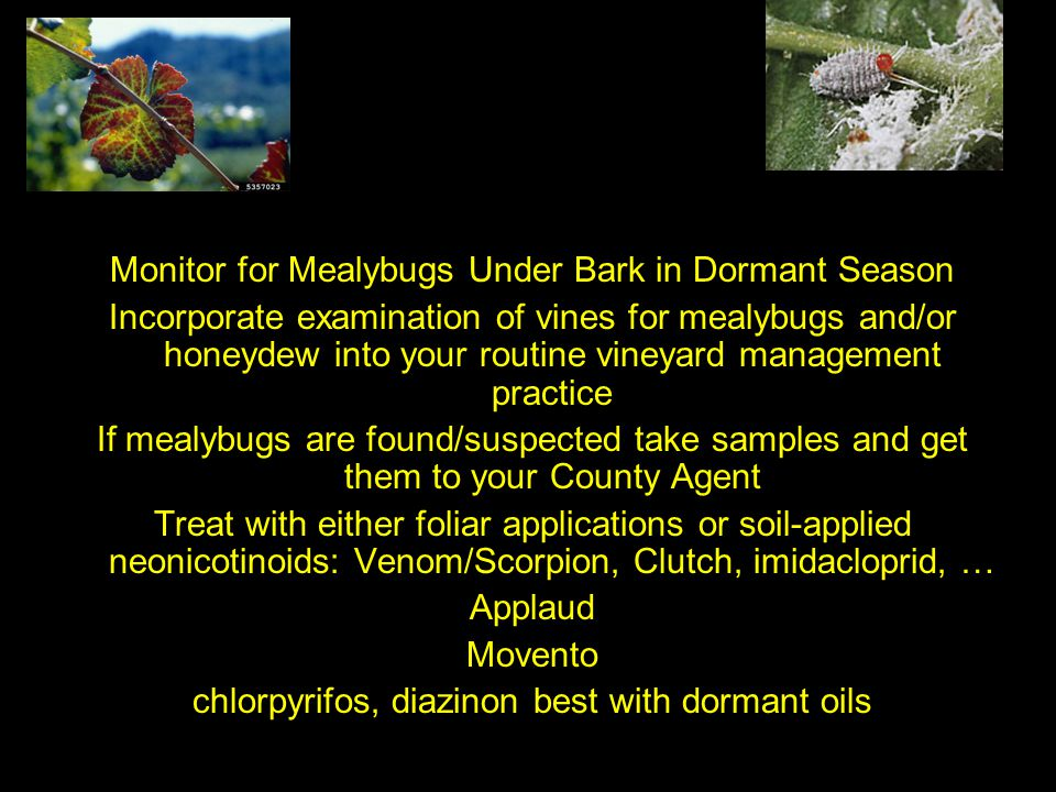 Monitor for Mealybugs Under Bark in Dormant Season Incorporate examination of vines for mealybugs and/or honeydew into your routine vineyard managemen