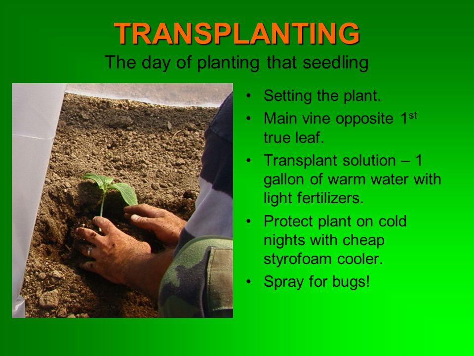 TRANSPLANTING TRANSPLANTING The day of planting that seedling Setting the plant. Main vine opposite 1 st true leaf. Transplant solution – 1 gallon of