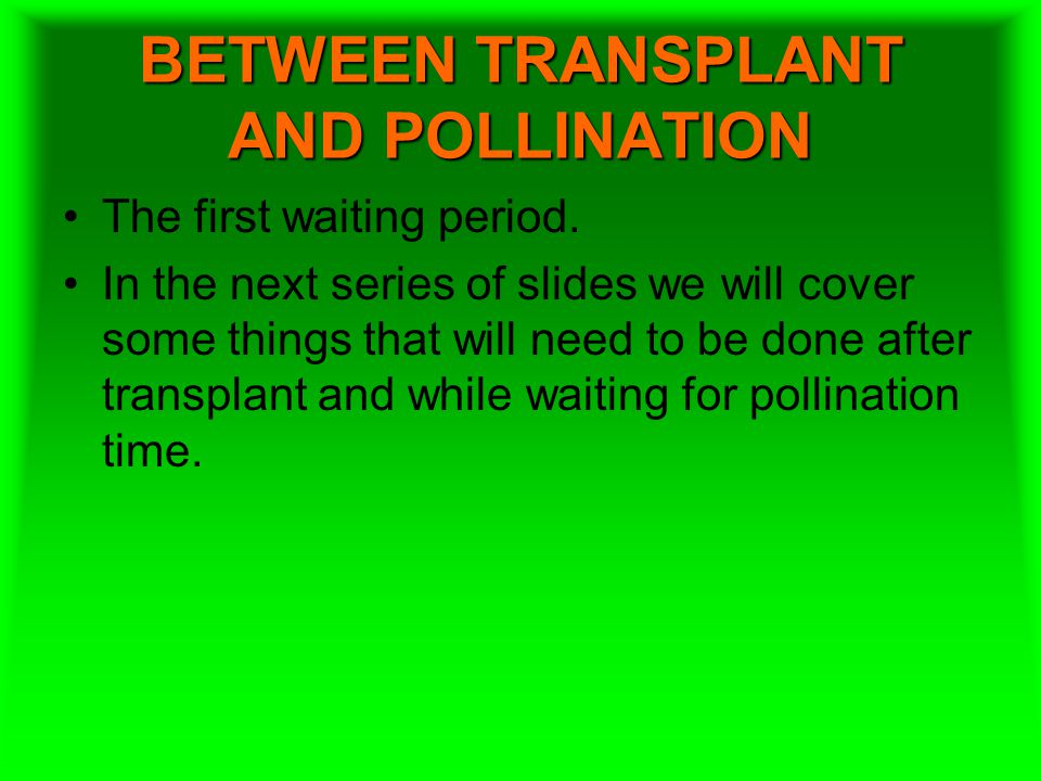 BETWEEN TRANSPLANT AND POLLINATION The first waiting period. In the next series of slides we will cover some things that will need to be done after tr