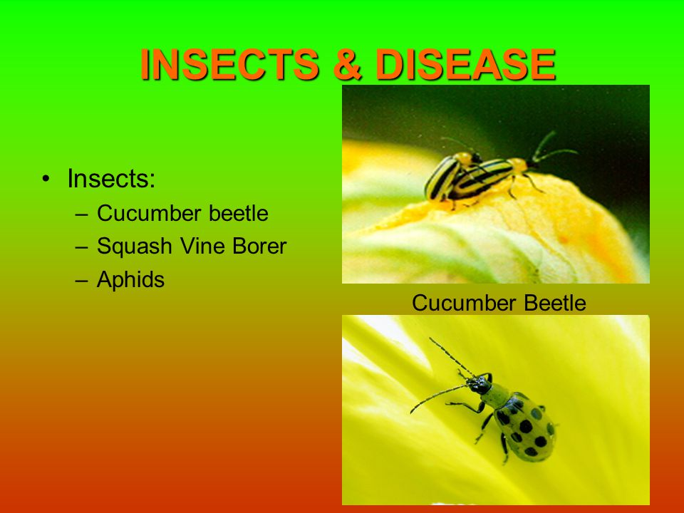 INSECTS & DISEASE Insects: –Cucumber beetle –Squash Vine Borer –Aphids Cucumber Beetle