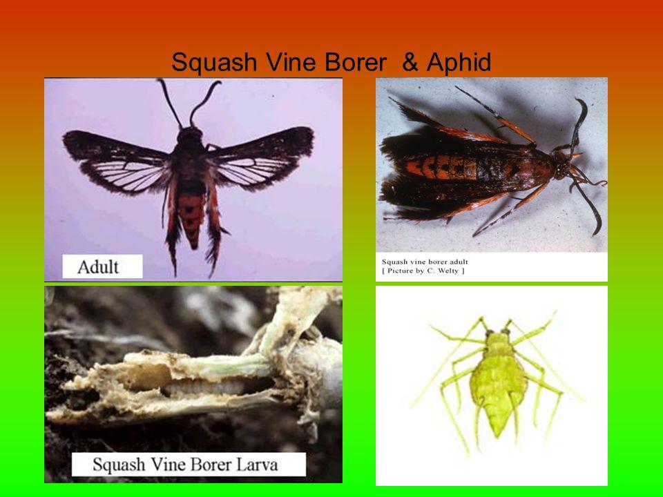 Squash Vine Borer & Aphid