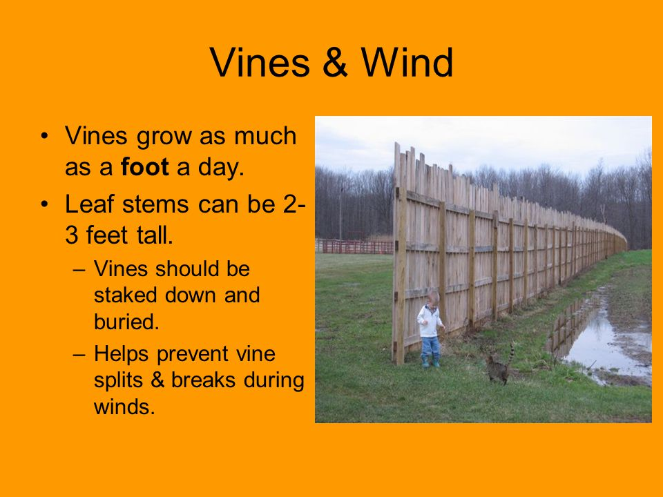 Vines & Wind Vines grow as much as a foot a day. Leaf stems can be 2- 3 feet tall. –Vines should be staked down and buried. –Helps prevent vine splits