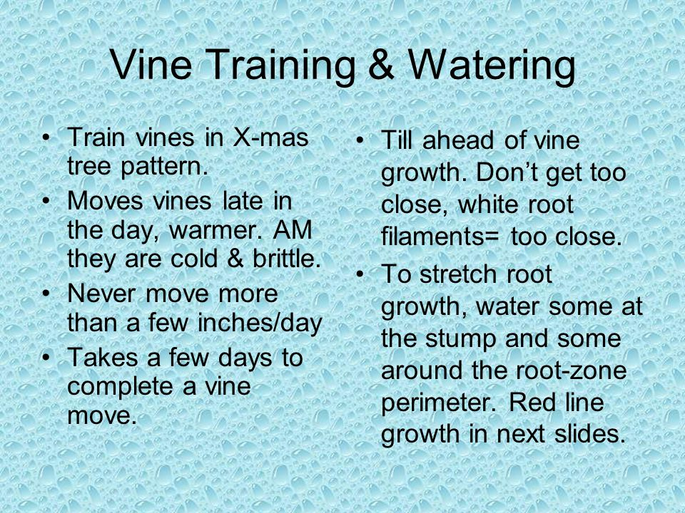 Vine Training & Watering Train vines in X-mas tree pattern.