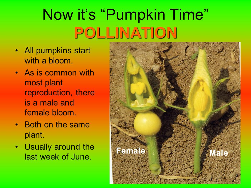 POLLINATION Now it's Pumpkin Time POLLINATION All pumpkins start with a bloom.