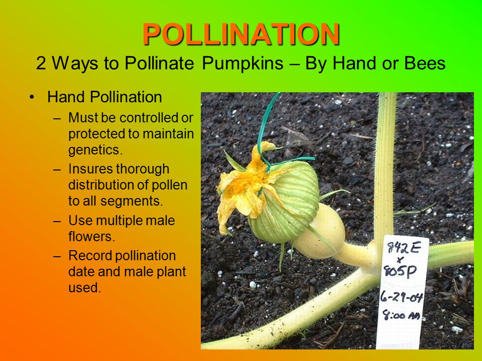 POLLINATION POLLINATION 2 Ways to Pollinate Pumpkins – By Hand or Bees Hand Pollination –Must be controlled or protected to maintain genetics.