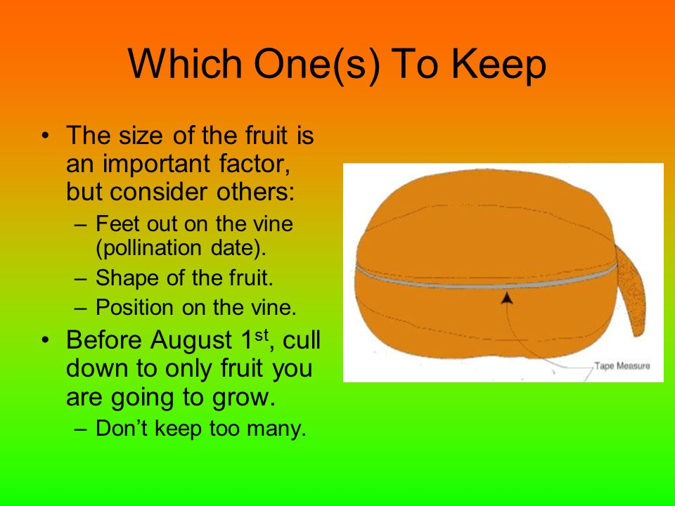 Which One(s) To Keep The size of the fruit is an important factor, but consider others: –Feet out on the vine (pollination date). –Shape of the fruit.
