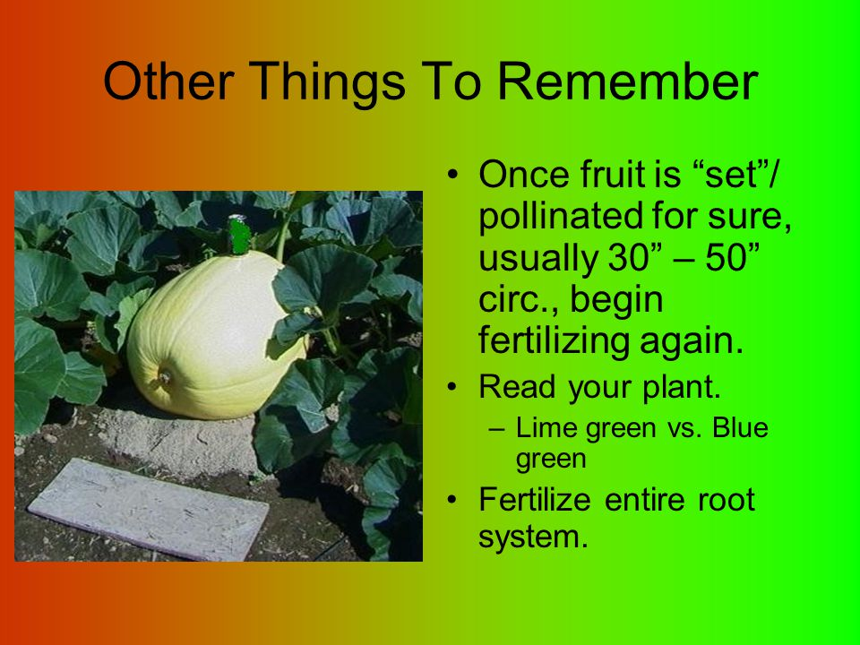 """Other Things To Remember Once fruit is """"set""""/ pollinated for sure, usually 30"""" – 50"""" circ., begin fertilizing again. Read your plant. –Lime green vs."""