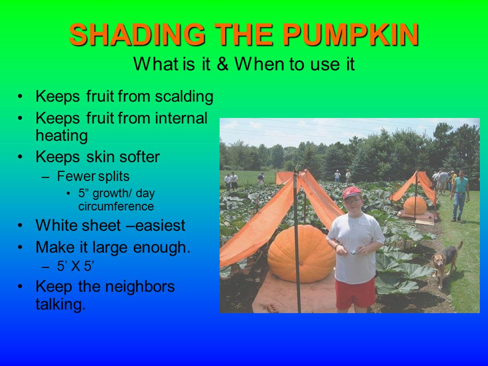 SHADING THE PUMPKIN SHADING THE PUMPKIN What is it & When to use it Keeps fruit from scalding Keeps fruit from internal heating Keeps skin softer –Fewer splits 5 growth/ day circumference White sheet –easiest Make it large enough.