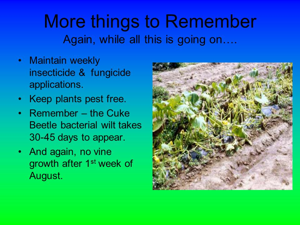 More things to Remember Again, while all this is going on…. Maintain weekly insecticide & fungicide applications. Keep plants pest free. Remember – th