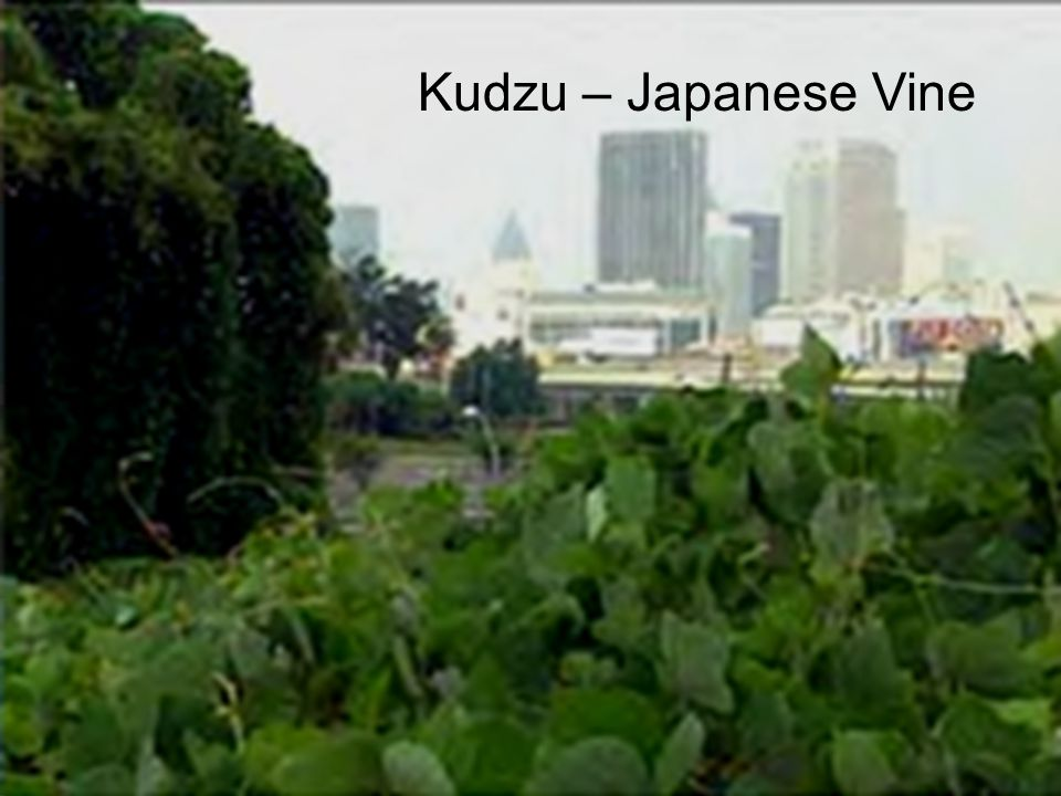 Kudzu – Japanese Vine